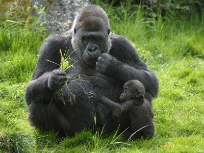 Western Lowland Gorilla Mother Feeding with Baby Investigating Grass. Captive, France