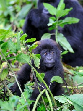 Young Mountain Gorilla Sitting, Volcanoes National Park, Rwanda, Africa by Eric Baccega