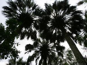 Sabal Palms near Border Fence, Brownsville, Texas by Eric Gay