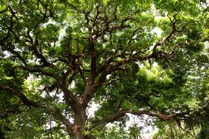 A Large Shady Tree on Isla Coiba Island by Eric Kruszewski