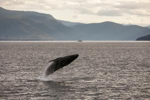 Among Mountains and Lush Hillsides, a Humpback Whale, Megaptera Novaeangliae, Breaches the Water by Eric Kruszewski