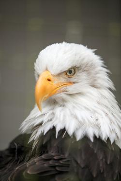 Portrait of an American Bald Eagle That Is Undergoing Rehabilitation at Sitka by Eric Kruszewski