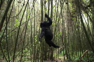 Using its Mouth, Teeth and Hand, a Young Mountain Gorilla Hangs from a Vine in a Bamboo Forest by Eric Kruszewski