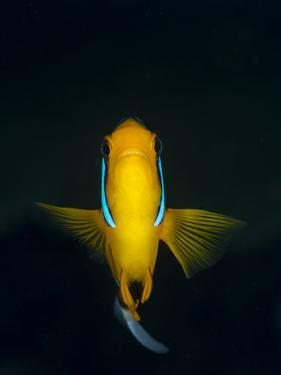 A Clownfish Hovers in the Water Column Above the Reef by Eric Peter Black