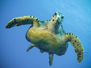 A Green Turtle Underwater in the Caribbean by Eric Peter Black