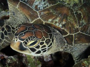 Closeup Look at a Turtle on the Reef in Palau by Eric Peter Black