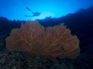 Giant Sea Fan and Diver in Palau by Eric Peter Black
