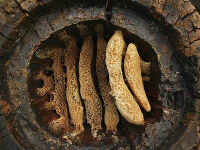 Hollow Chestnut Log Hive Reveals the Details of the Honey Bee Comb Architecture
