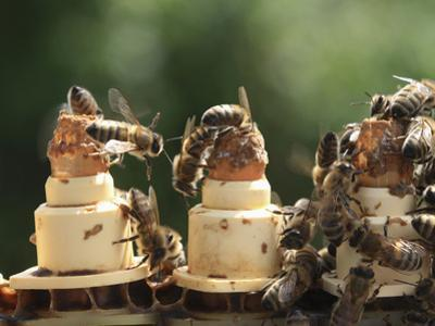 Honey Bees on Queen-Rearing Cells