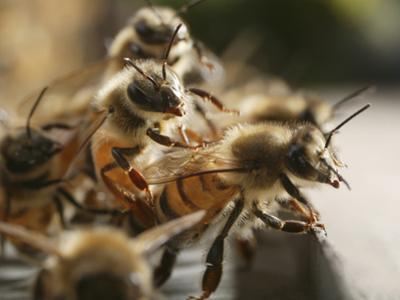 Suspended from the Hive, Honey Bees Hang from One Another to Better Allow Air Flow