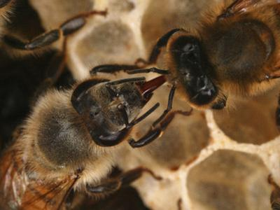 Two Honey Bees Practicing Mouth-To-Mouth Food Transfer Called Trophallaxis