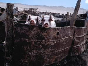 Pigs Looking Out of Pen, Ilave, Puno, Peru by Eric Wheater
