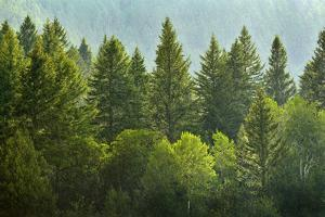 Forrest of Green Pine Trees on Mountainside with Rain by eric1513