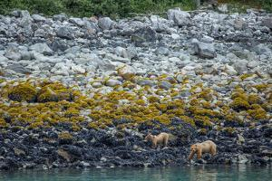 A Coastal Brown Bear Female and Cub Forage for Mussels on the Shoreline by Erika Skogg