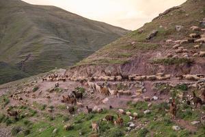 A Herd of Llamas, Alpacas and Sheep Round a Mountain Bend in Peru by Erika Skogg
