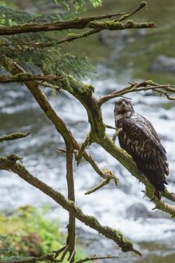 A Juvenile Bald Eagle, Haliaeetus Leucocephalus, Perches on a Branch by Erika Skogg