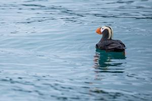 A Puffin, Fratercula, Floats on the Pacific Ocean Near the Inian Islands by Erika Skogg