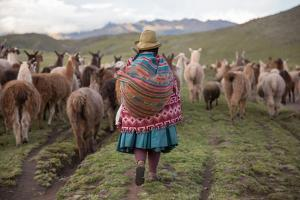A Quechua Woman Herding Llamas, Alpacas, and Sheep Back to Town from Grazing in the Mountains by Erika Skogg