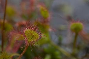 Close Up of a Sundew, Drosera Rotundifolia, Carnivorous Plant by Erika Skogg