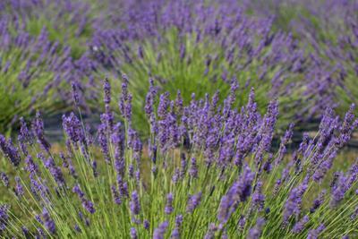 Lavender Field in Bloom by Erika Skogg