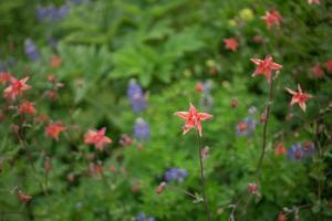 Lupine, Lupinus, Columbine, Aquilegia, and Other Wild Flowers Grow in Alaska by Erika Skogg
