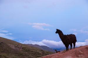 Two Llamas Stand in the Mountains of Peru by Erika Skogg