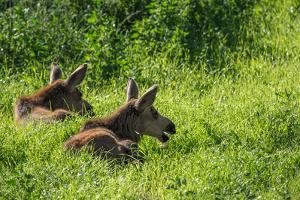 Two Young Moose, Alces Alces, Calves Sit in the Grass in Denali National Park by Erika Skogg