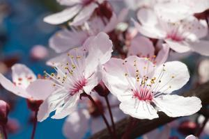 Cherry Blossom 2 by Erin Berzel