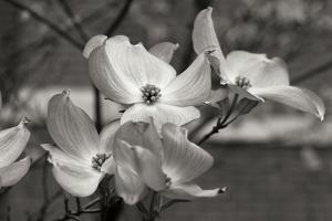 Dogwood Blossoms I BW by Erin Berzel