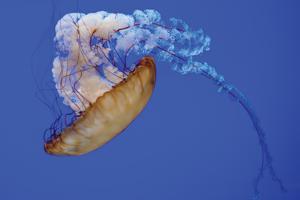 Jellyfish VIII by Erin Berzel