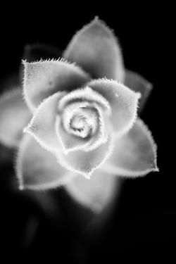 Monochrome Succulent II by Erin Berzel