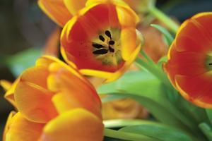 Orange Tulips 1 by Erin Berzel