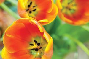 Orange Tulips 2 by Erin Berzel