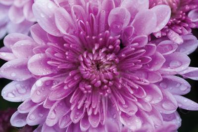 Purple Mum II by Erin Berzel