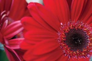 Red Gerbera Close-Up by Erin Berzel