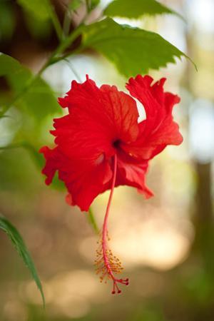 Red Hibiscus by Erin Berzel