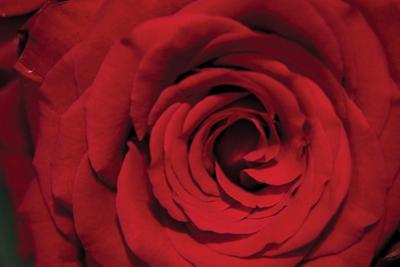 Red Rose Detail by Erin Berzel