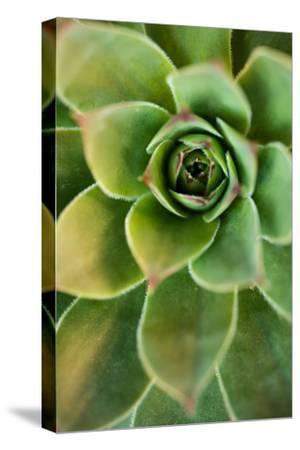 Sempervivum Rupicolum IV by Erin Berzel