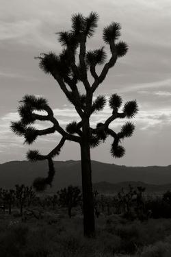 Yucca Brevifolia I by Erin Berzel