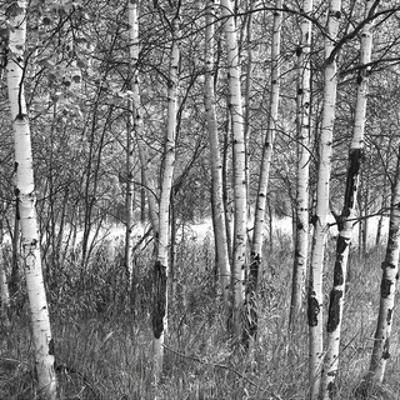 Birch Forest by Erin Clark