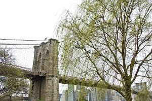 Brooklyn Bridge and Willow by Erin Clark