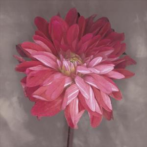 Pink Zinnia by Erin Clark