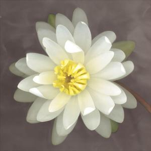Yellow Water Lily by Erin Clark