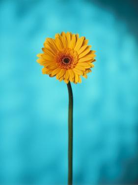 Close-up of a Flowering Daisy by Ernie Friedlander