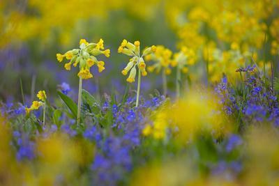 Cowslips (Primula Veris) Growing On Organic Farm. Norfolk, UK, April