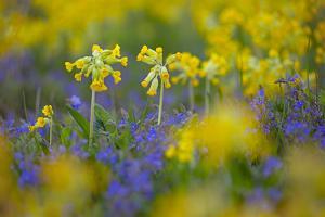 Cowslips (Primula Veris) Growing On Organic Farm. Norfolk, UK, April by Ernie Janes