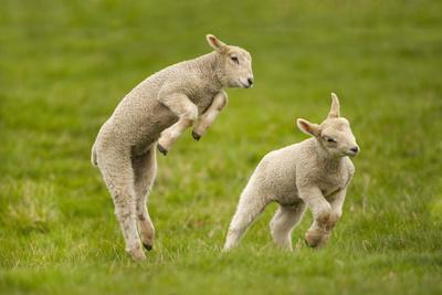 Domestic Sheep, Lambs Playing in Field, Goosehill Farm, Buckinghamshire, UK, April 2005