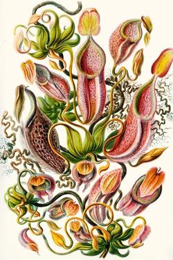 A Collection of Nepenthaceae from 'Kunstformen Der Natur', 1899 by Ernst Haeckel