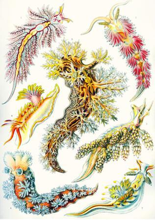 A Collection of Nudibranchia from 'Kunstformen Der Natur', 1899 by Ernst Haeckel