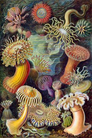 Actiniae Nature by Ernst Haeckel